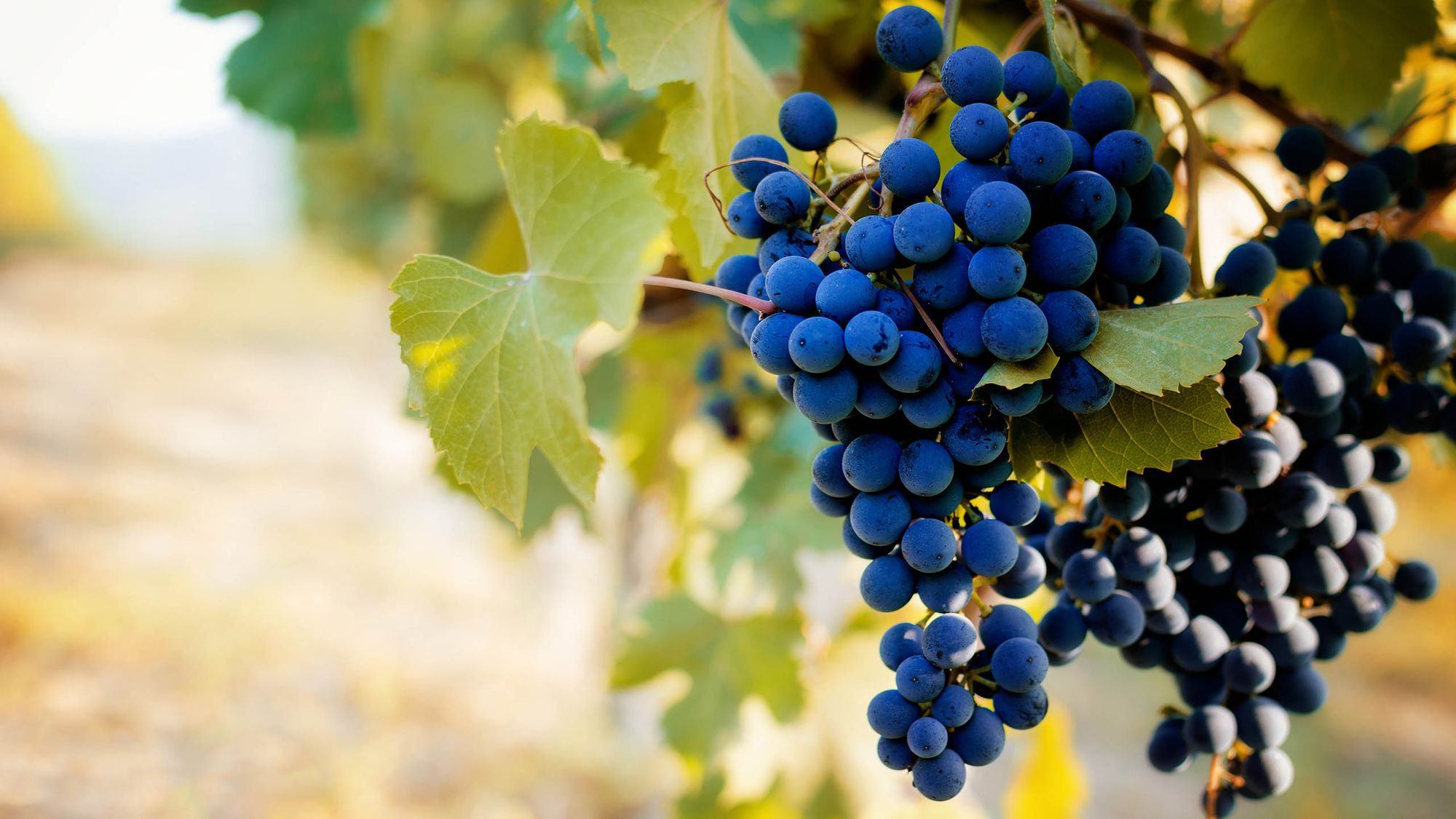Barbera grapes on the vine